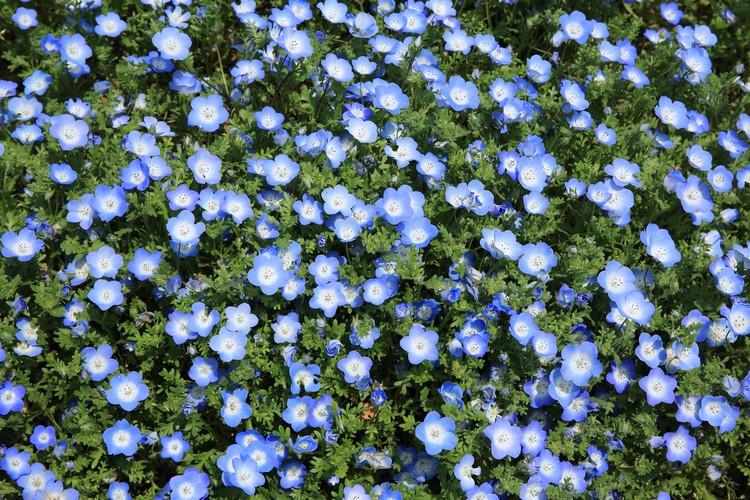 Champ de lin en fleur